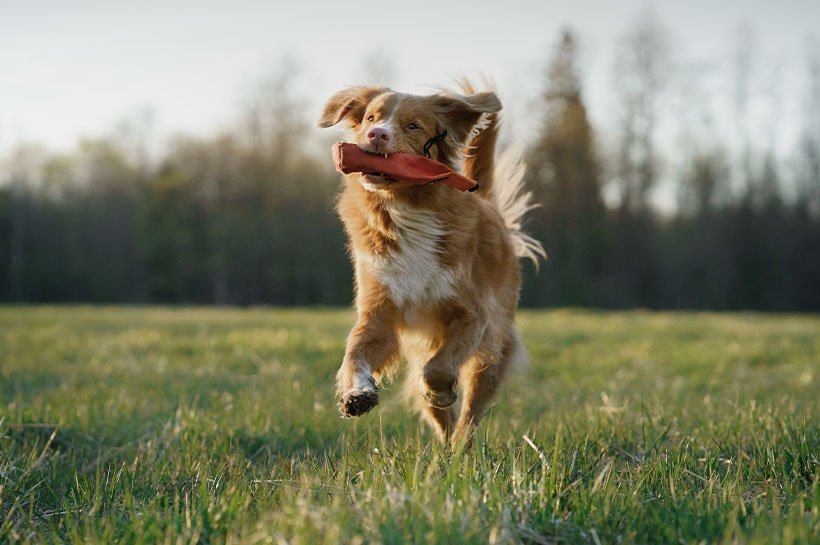 Junger Hund rennt mir rotem Dummy im Maul über eine Wiese