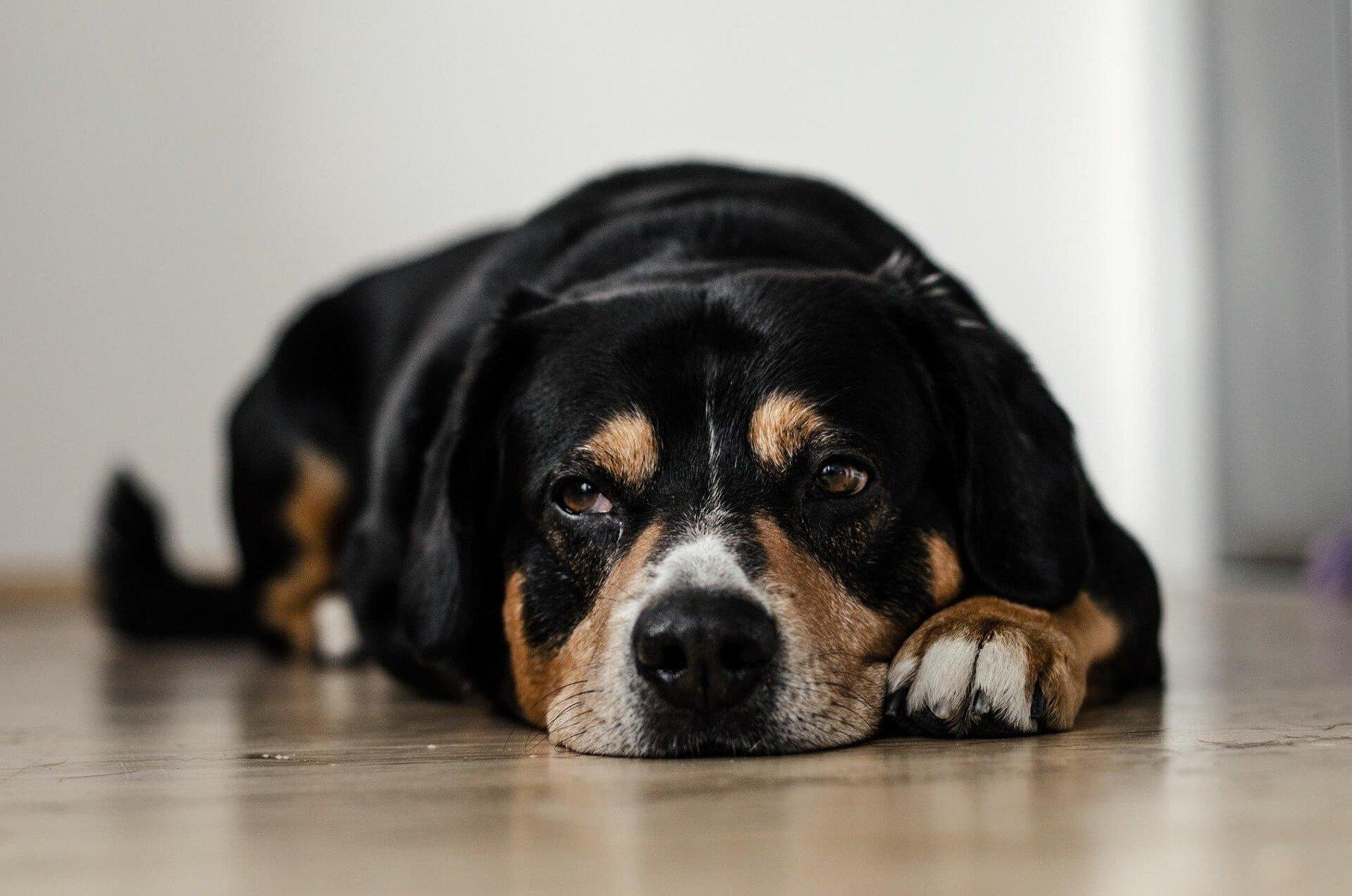 Hund liegt auf Fußboden