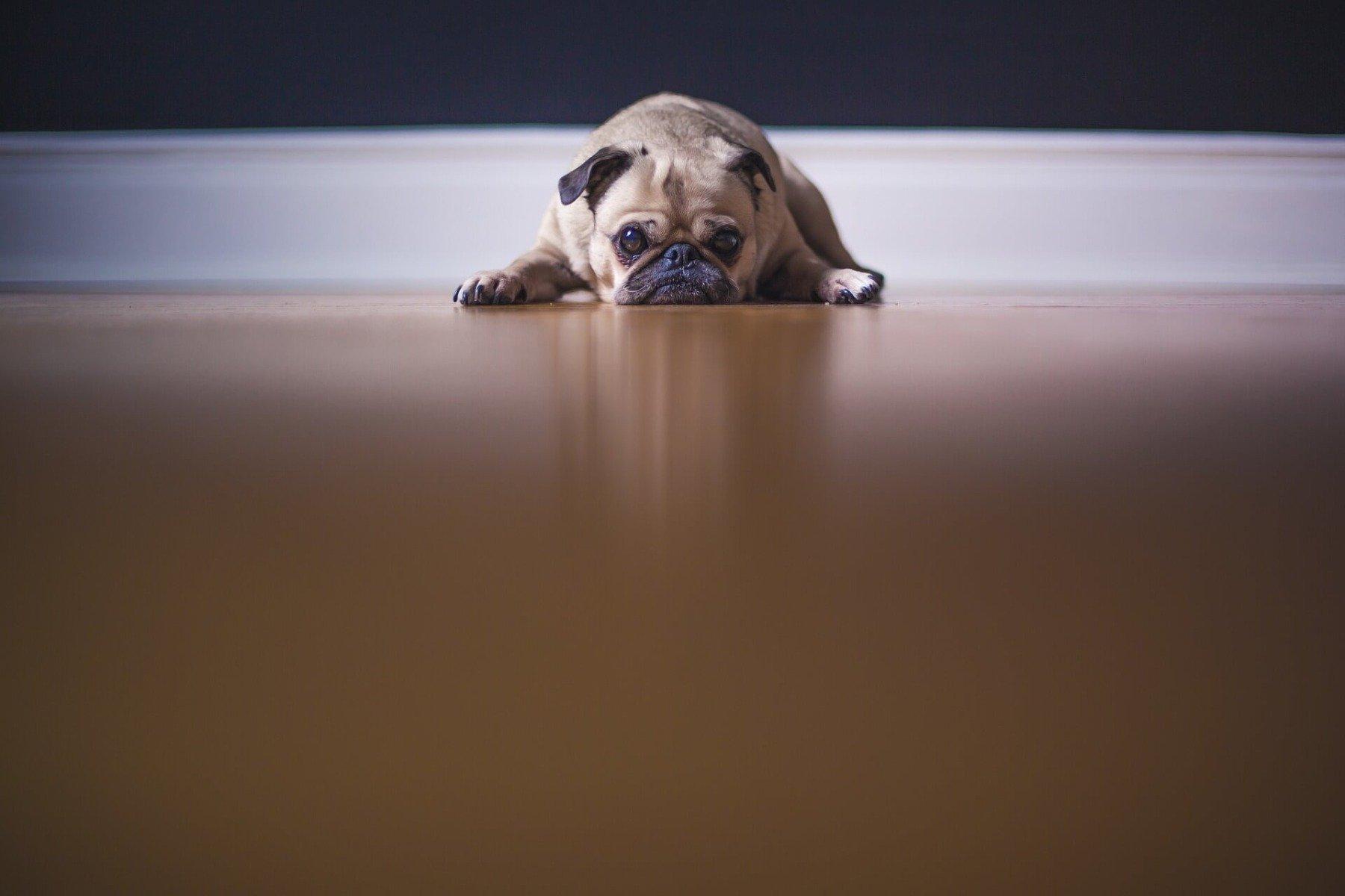 Mops liegt traurig auf dem Boden