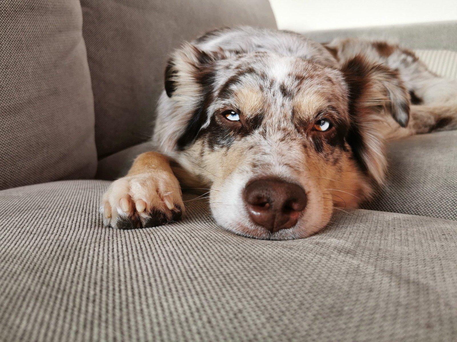 Hund liegt, Kopf auf den Pfoten, schaut krank oder traurig