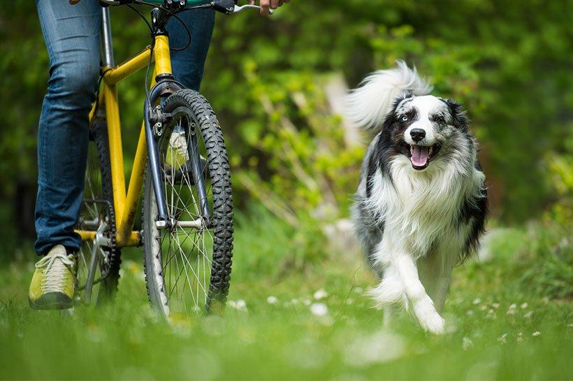 Ein Collie läuft freudig neben einem gelben Fahrrad auf einer Wiese.