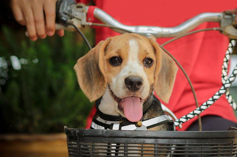 Beagle in einem Fahrradkörbchen