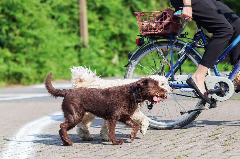 Zwei Hunde laufen parallel neben einem Fahrrad
