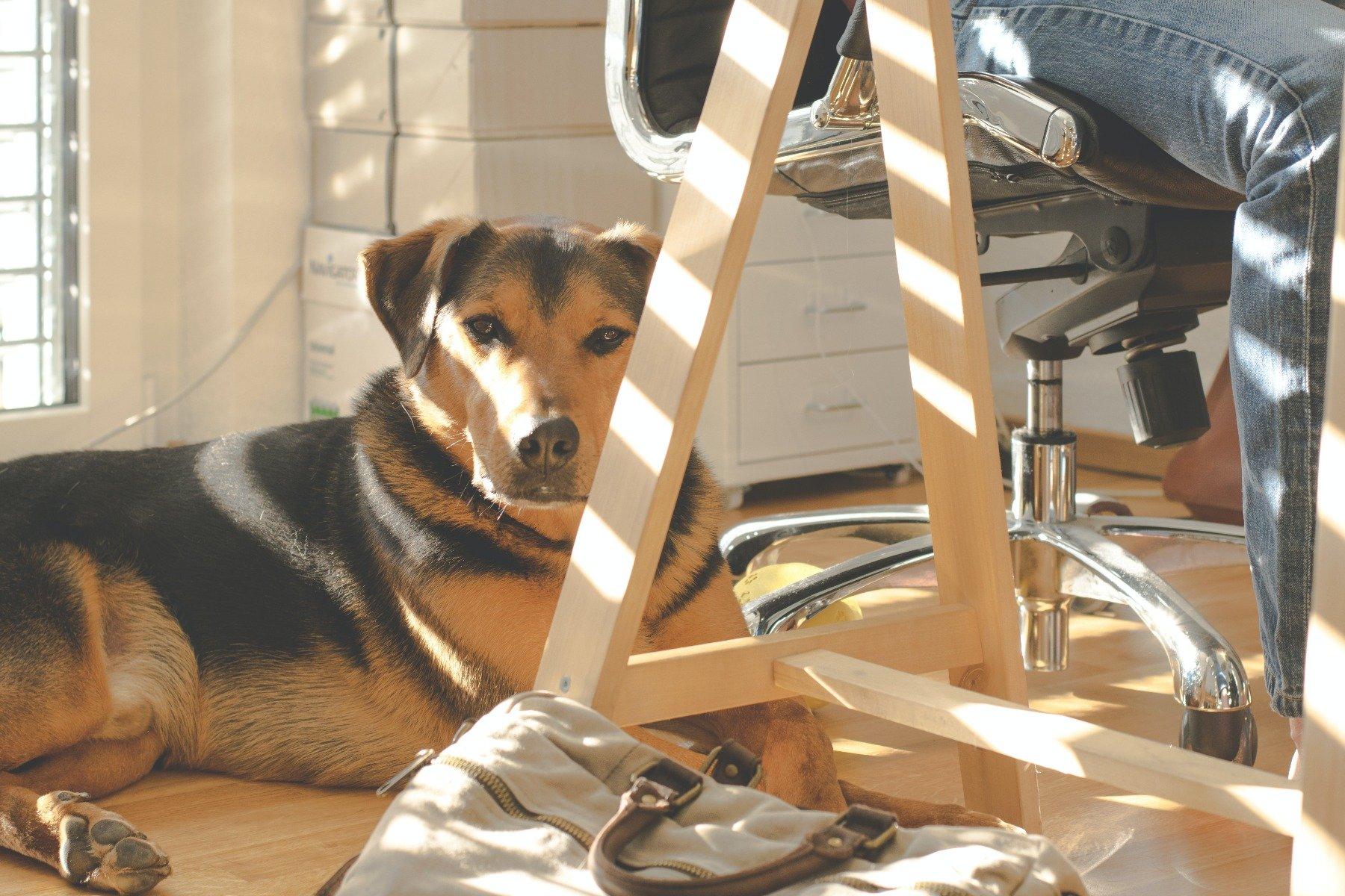 Hund liegt am Arbeitsplatz
