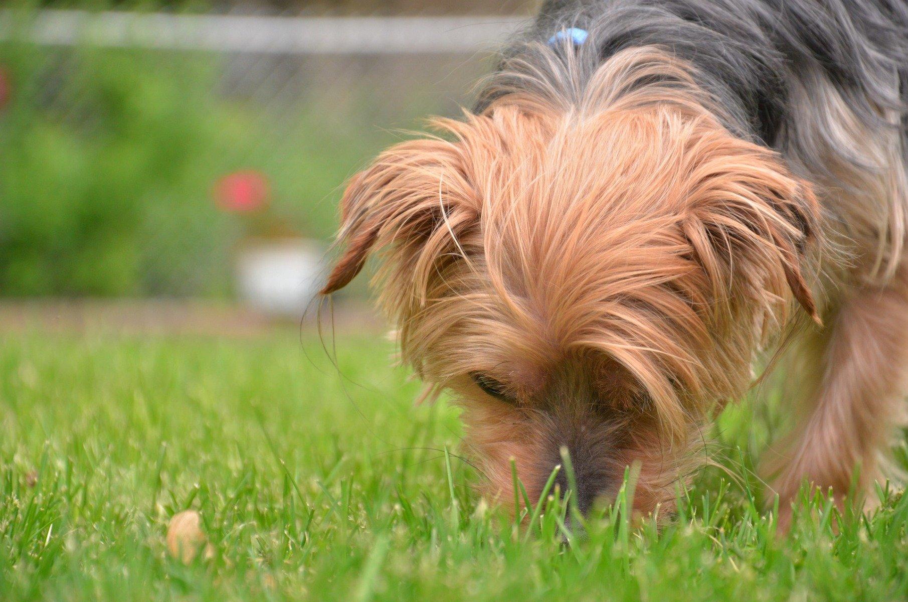 Hund frisst Gras und erbricht