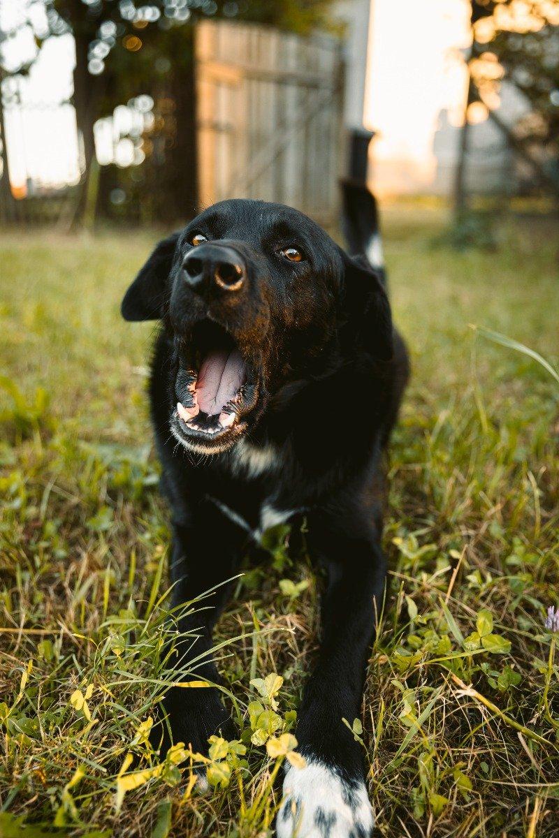 Schwarzer Labradormix mit halbgeöffnetem Fang