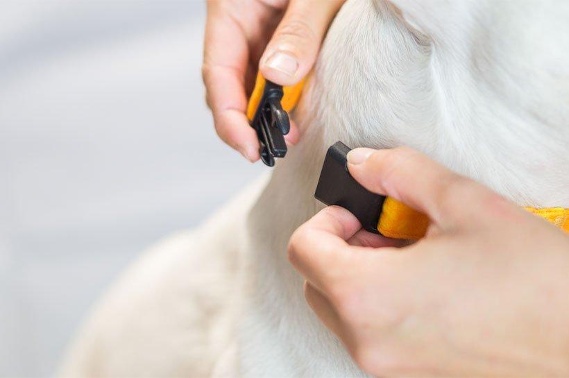zwei Hände befestigen Halsband am Hals eines Hundes