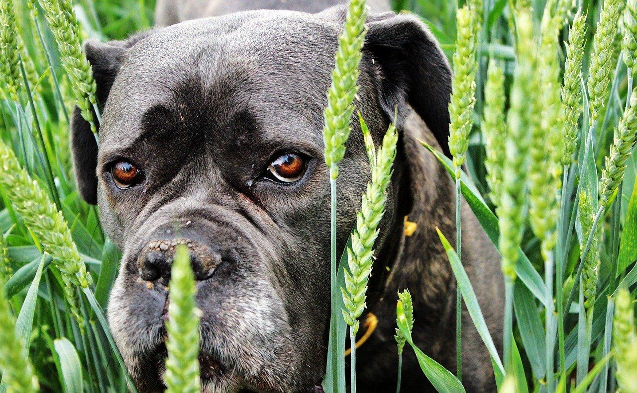 Hund im Getreidefeld