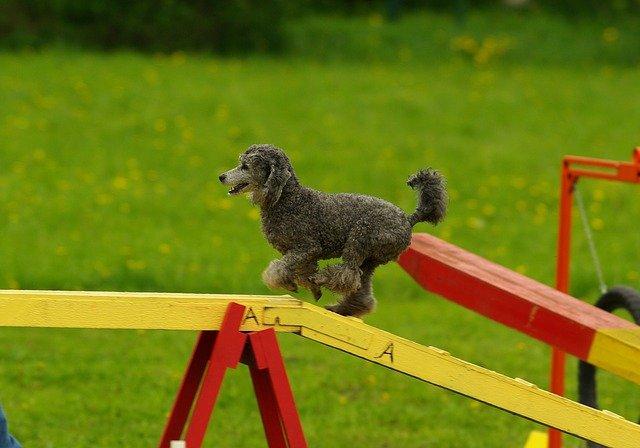 Hund läuft über Agility-Hindernis.