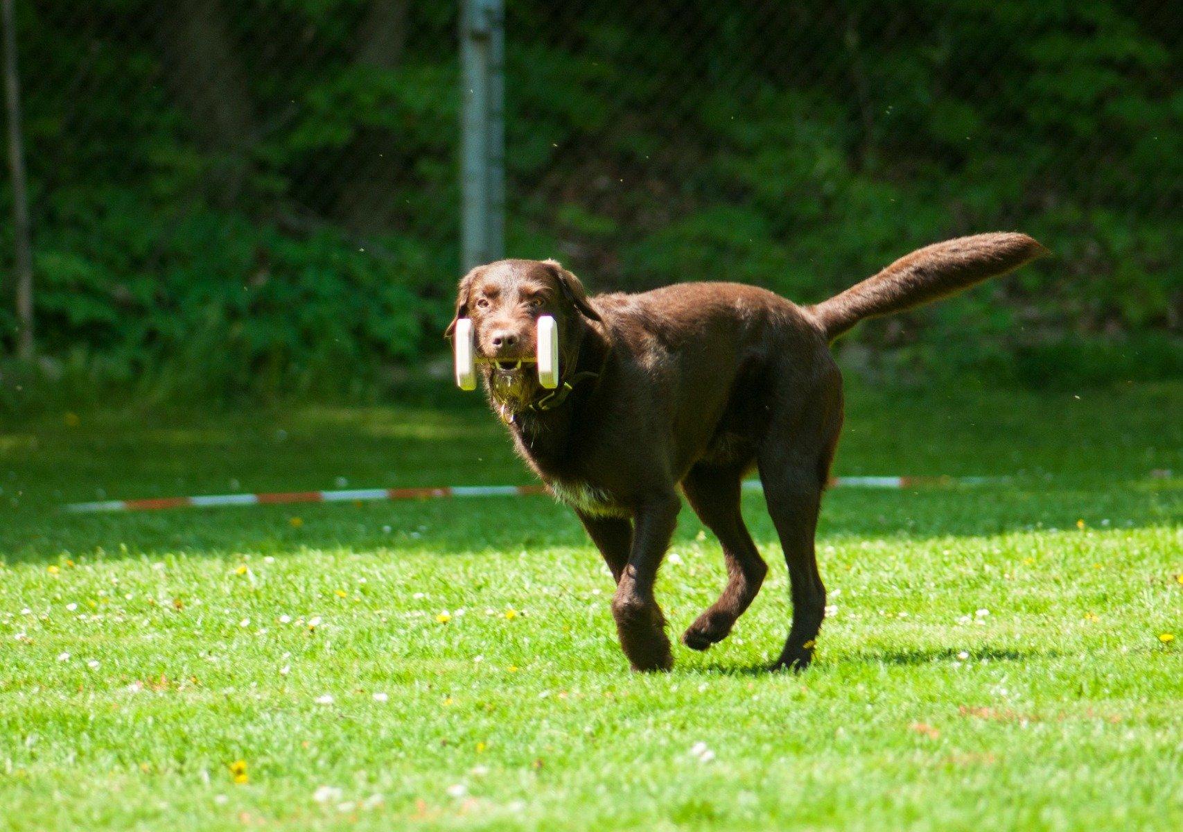 Hund rennt mit Gegenstand