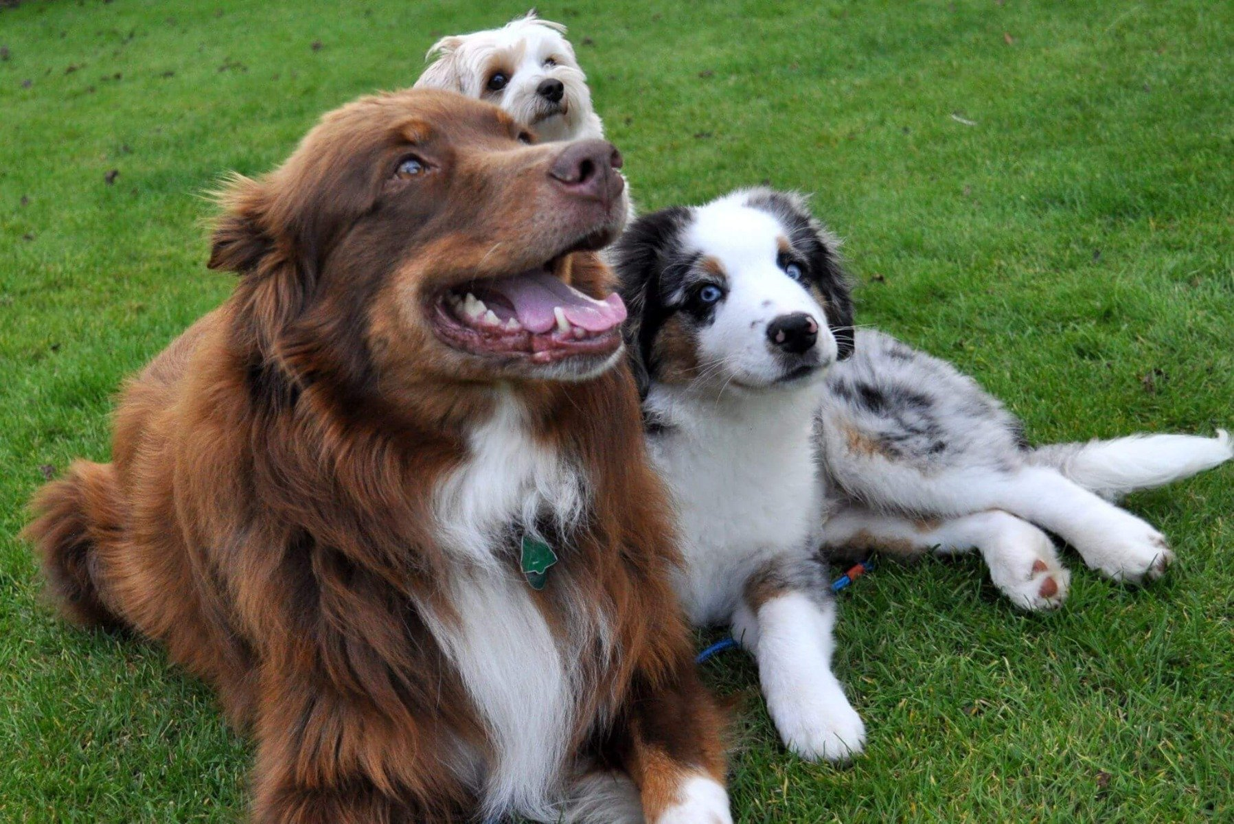 Drei Hunde liegen auf einer Wiese.