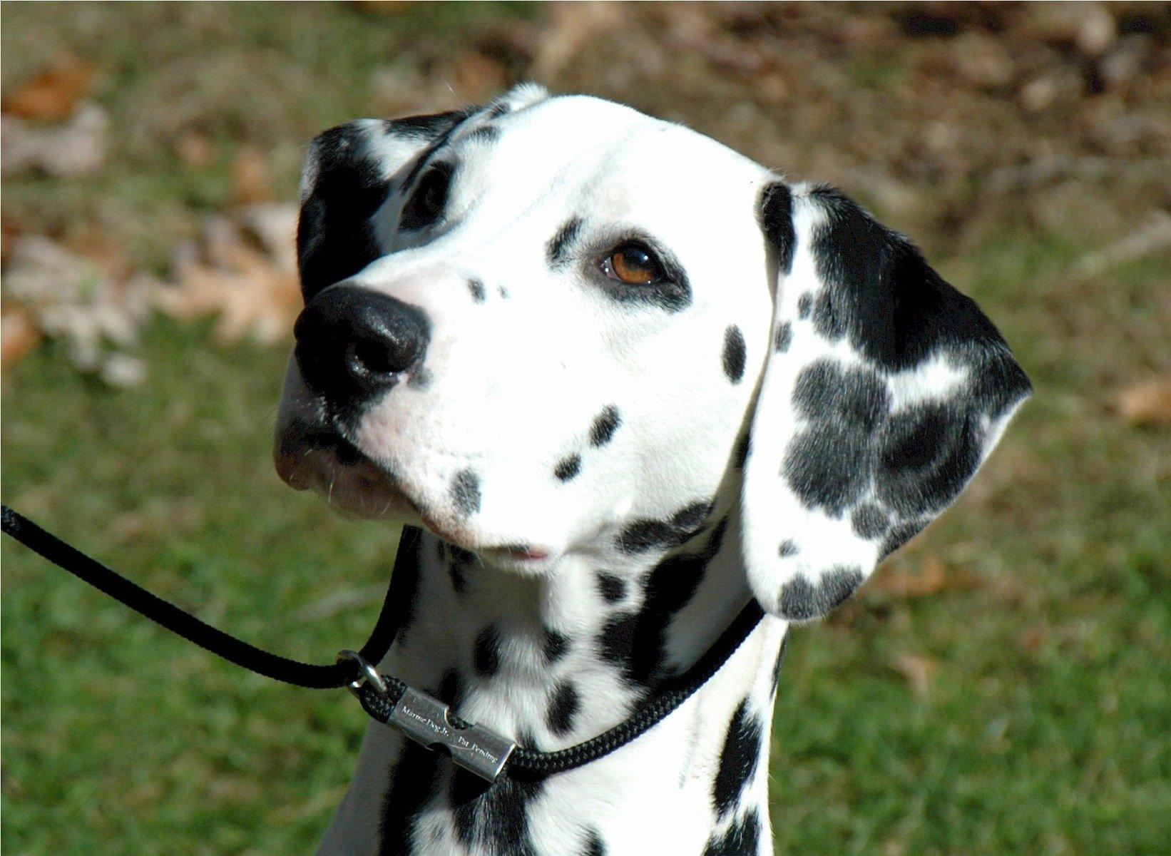 Hund der Rasse Dalmatiner bei der Hundeerziehung