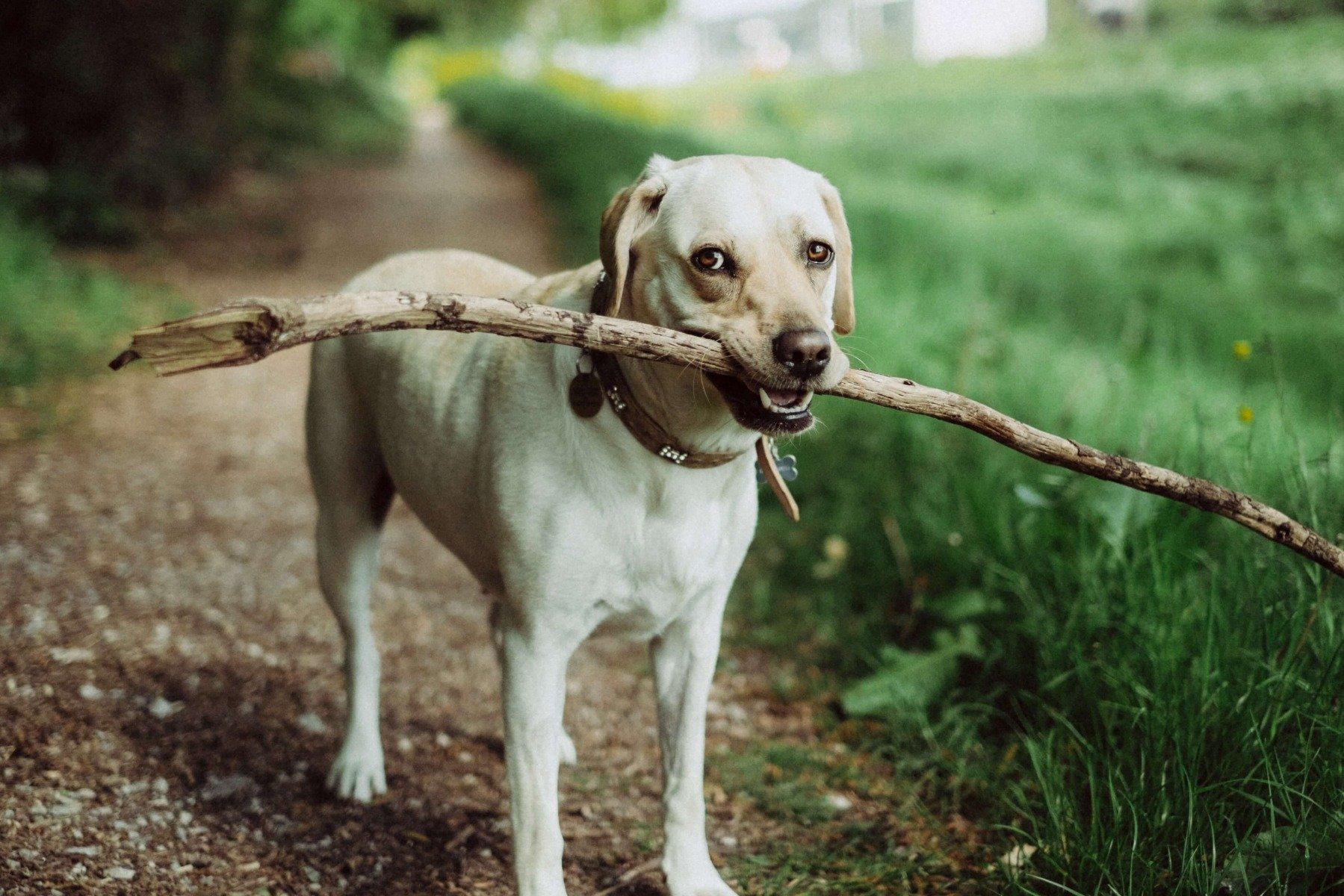 Labradormix trägt Stock im Fang im Freien
