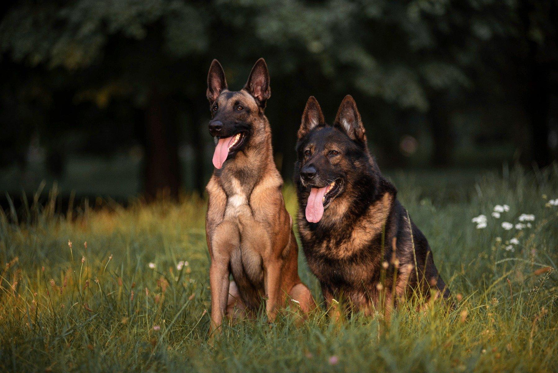 Zwei belgische Schäferhunde sitzen im Gras