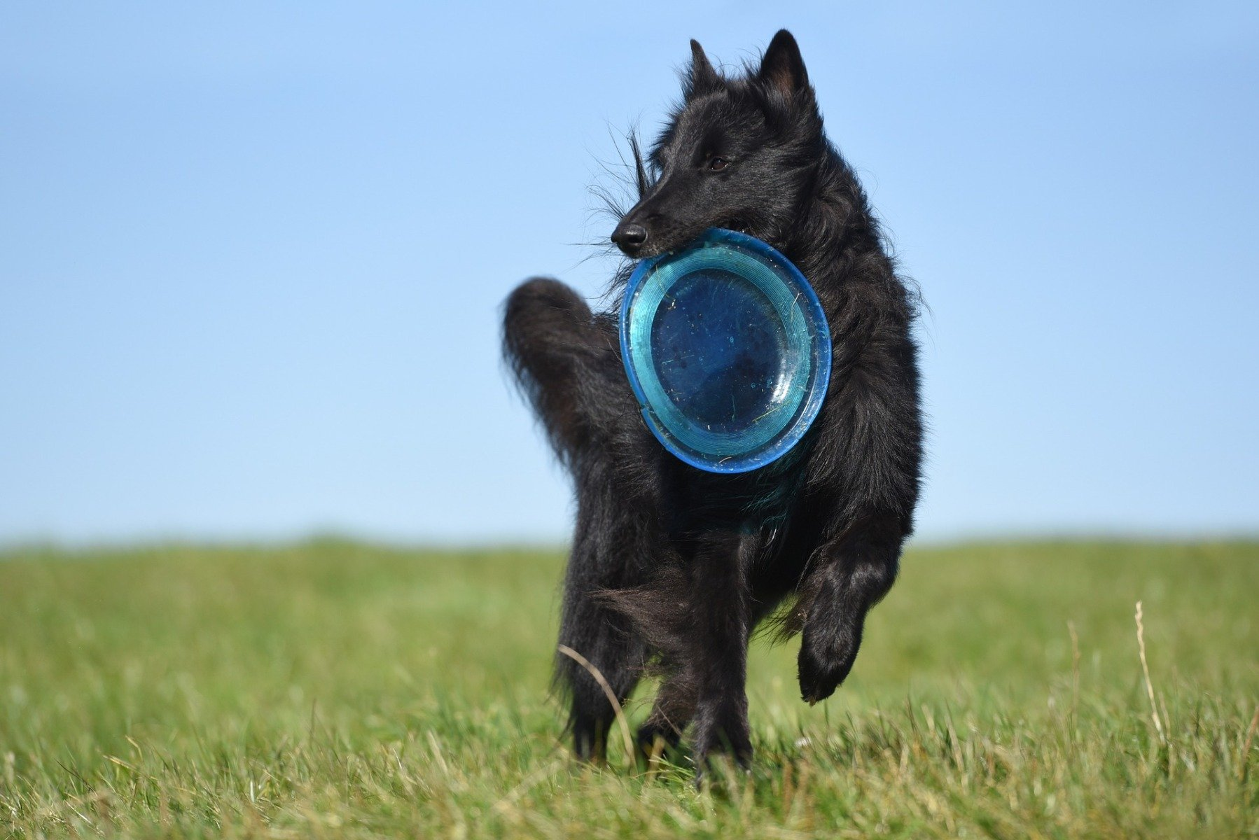 Groenendael mit Frisbee