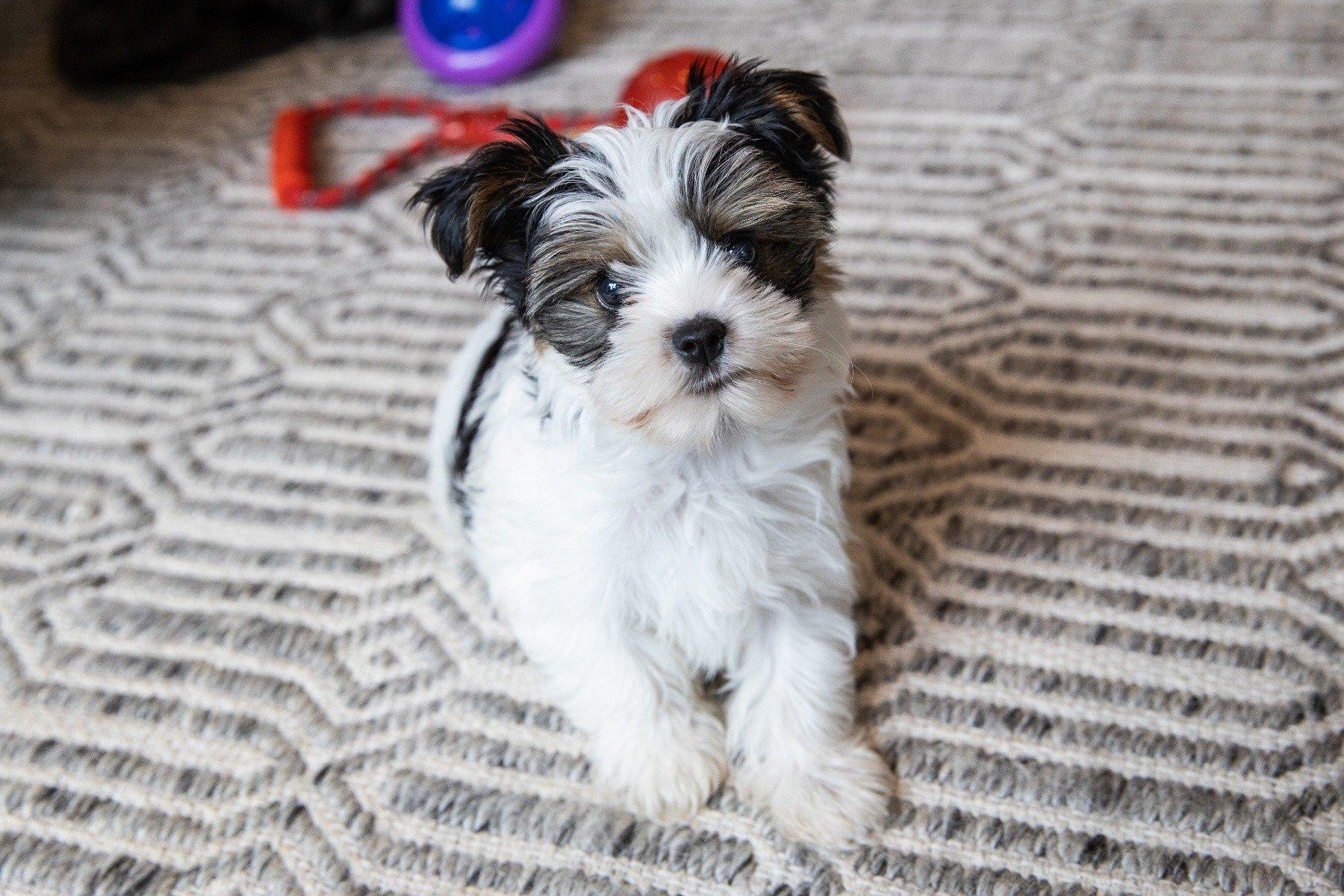 Biewer Yorkshire Terrier auf Teppich