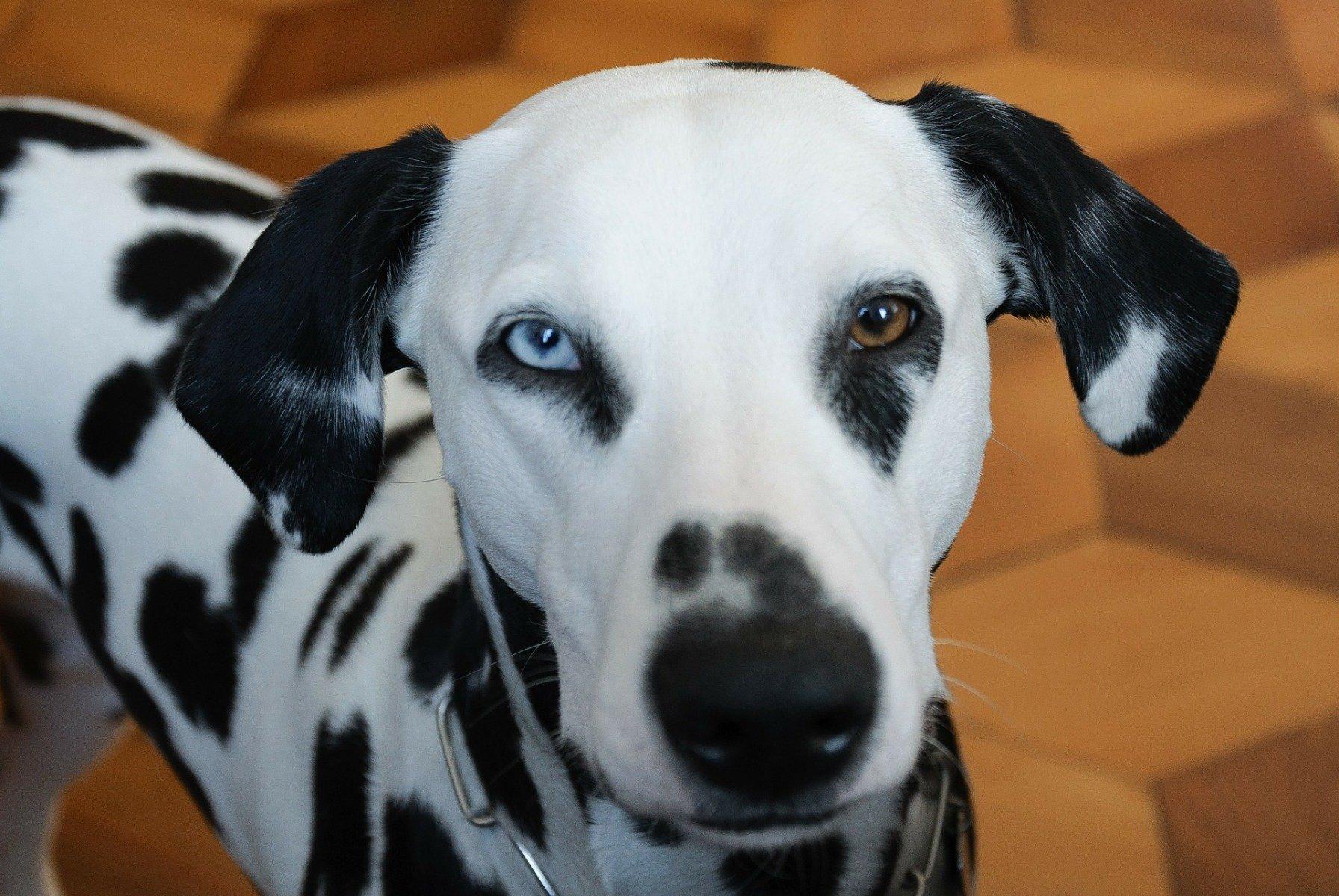 Hund mit zweifarbigen Augen
