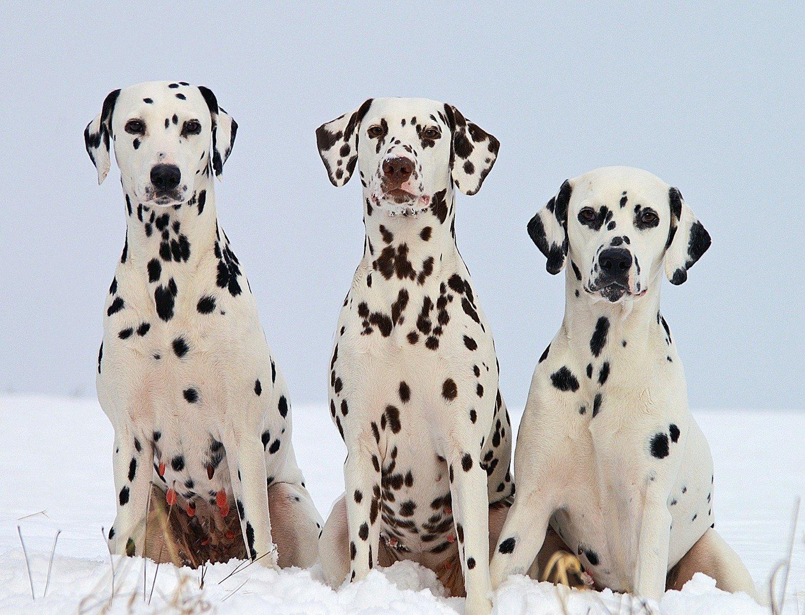 Drei Dalmatiner mit unterschiedlichem Fell