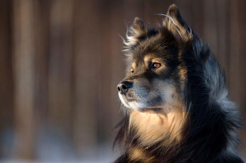 Nahaufnahme eines Finnischen Lapphundes