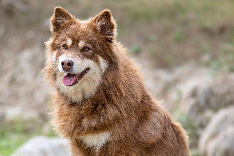 Finnischer Lapphund sitzt auf Stein