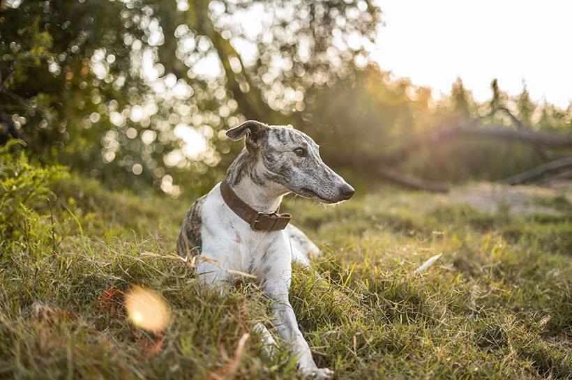 Geyhound beobachtet seine Umgebung