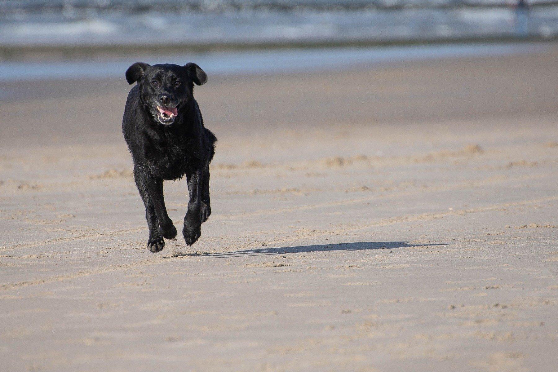 Labrador Retriever als aktiver Familienhund