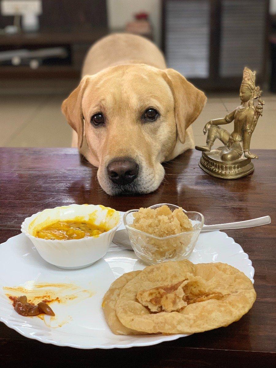Labrador Retriever hat immer Hunger