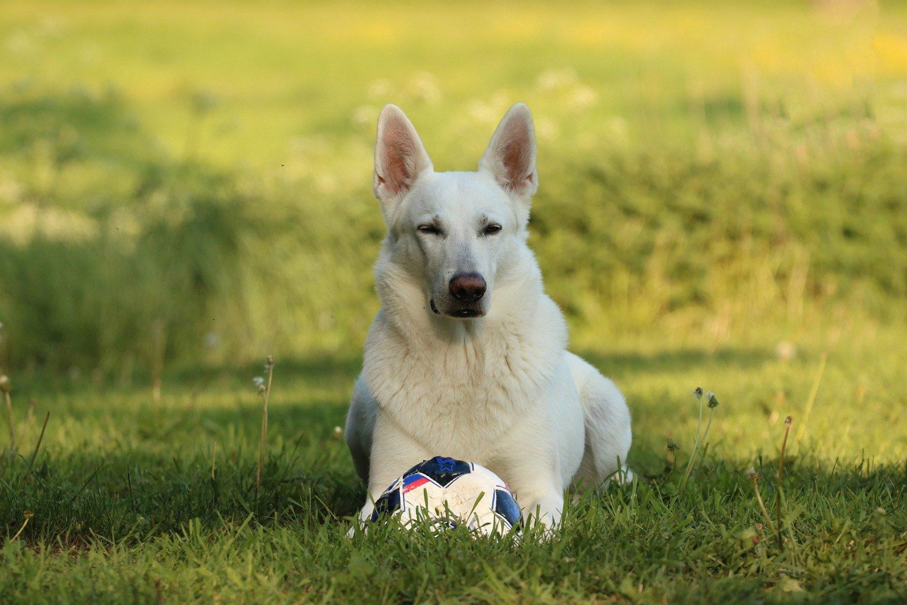Weißer schweizer Schäferhund liegt auf einer Wiese