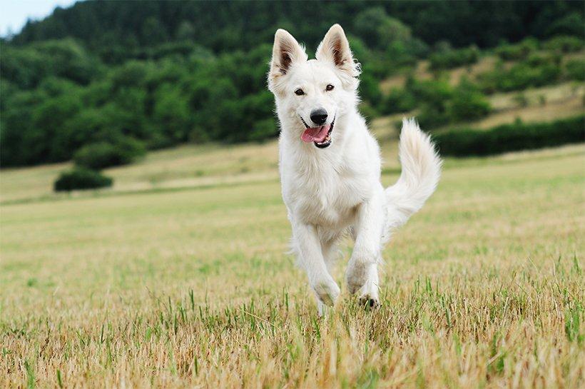 Weißer Schäferhund rennt über eine Wiese