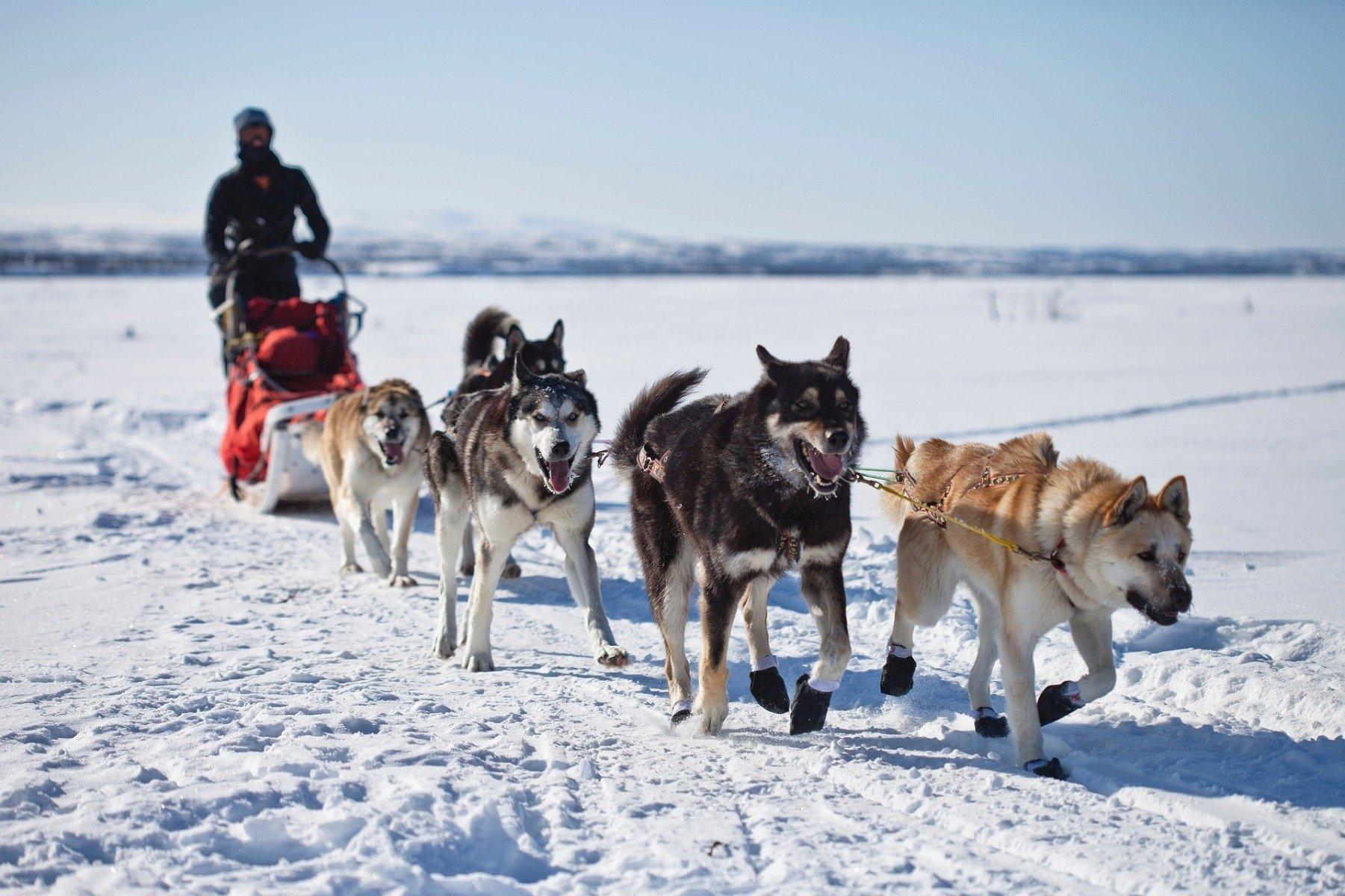 5 Schlittenhunde ziehen Musher und Hundeschlitten während Schlittenhunderennen