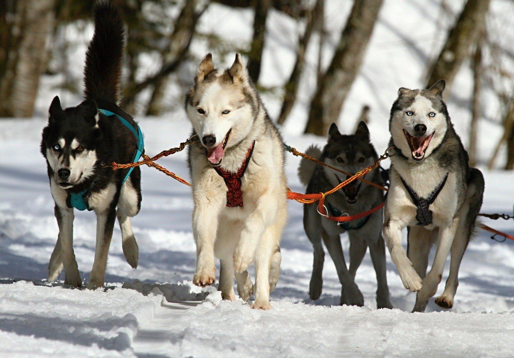 Vier Huskys am Hundeschlitten rennend während Schlittenhunderennen