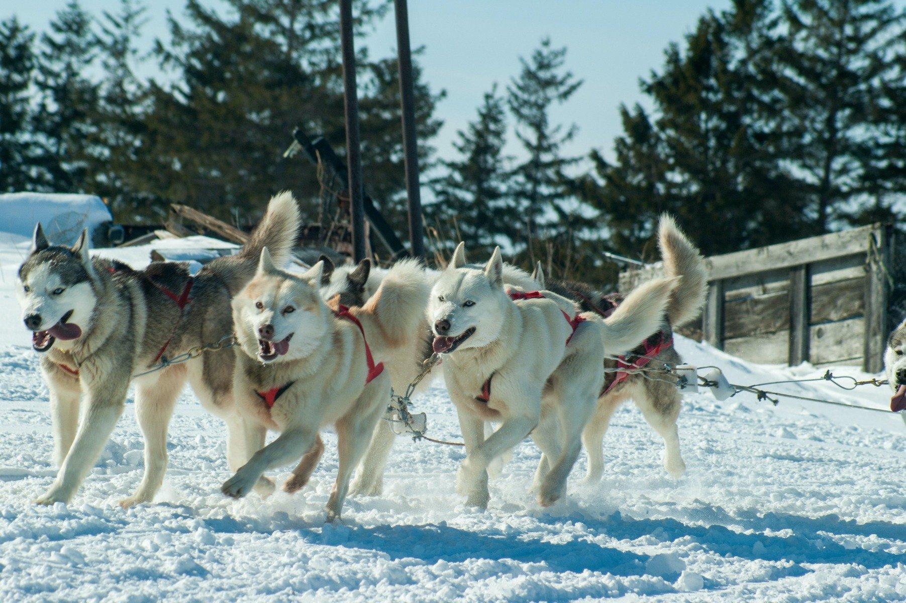 6 Huskys während Schlittenhunderennen
