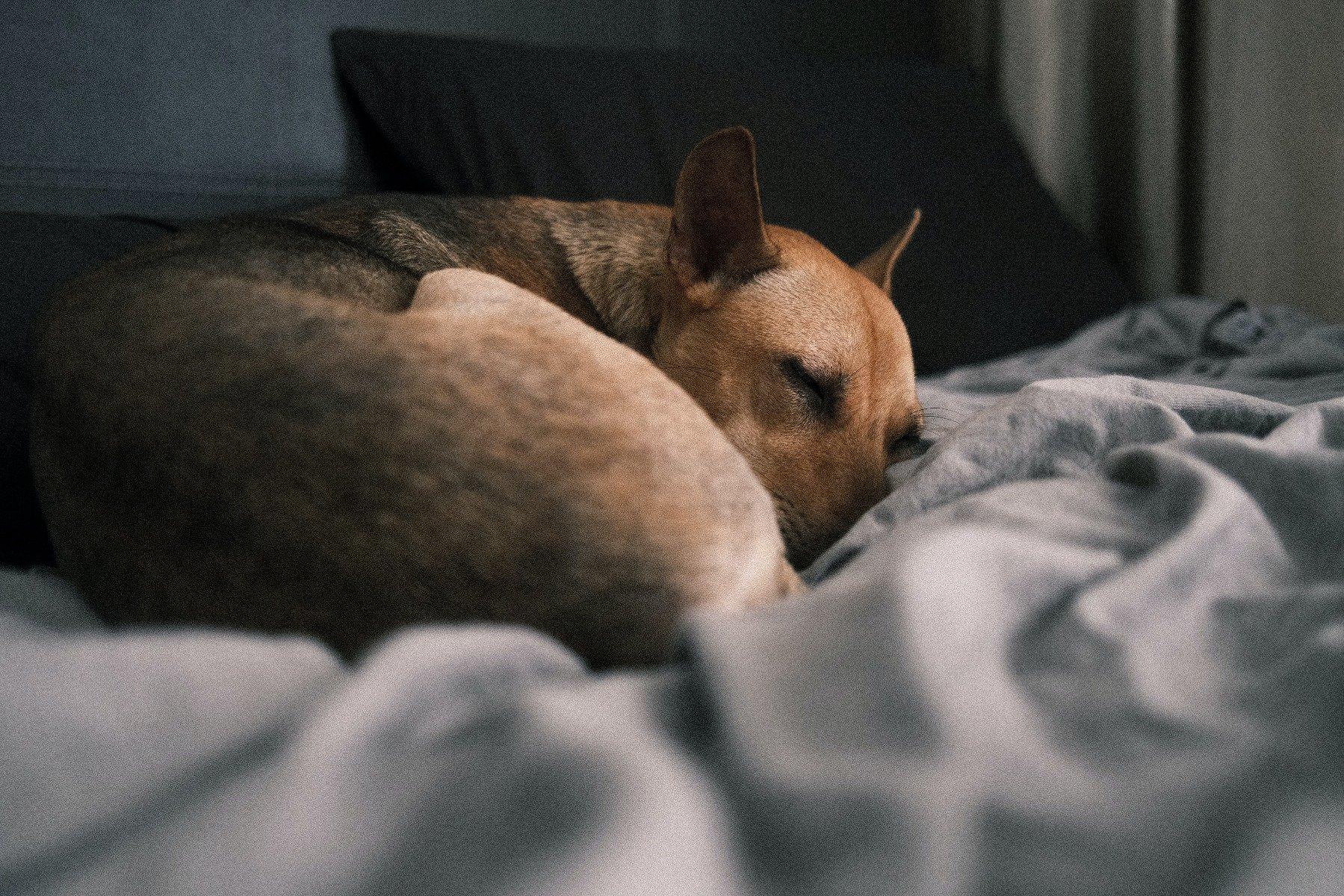 Hund liegt eingerollt auf Bett und schläft