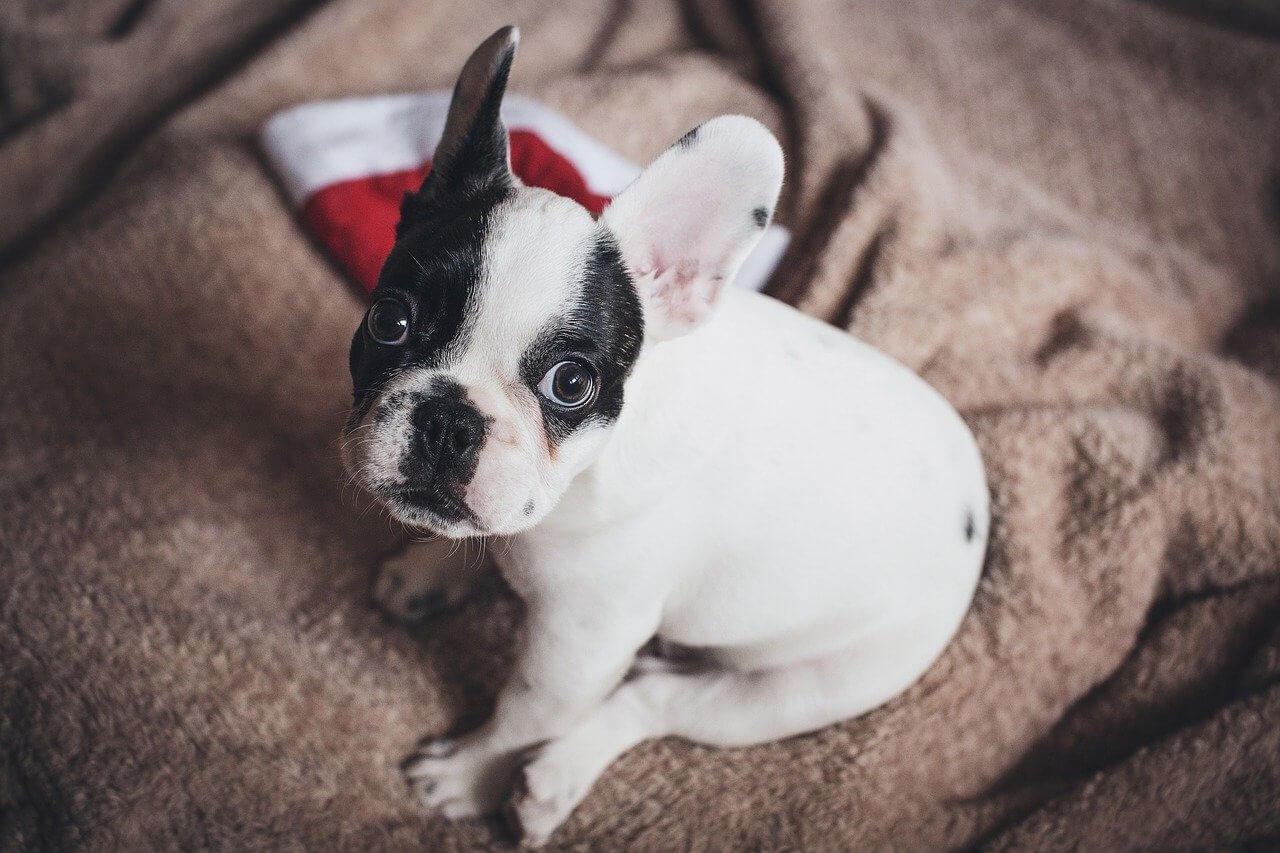 Französische Bulldogge Welpen sitzt mit Weihnachtsmütze im Hintergrund