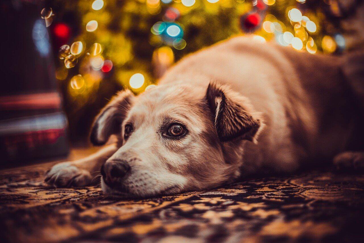 Hund liegt auf dem Boden mit Lichterkette und Weihnachtsbaum im Hintergrund