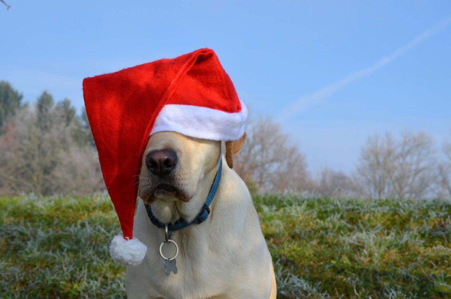 Labrador mit Weihnachtsmütze auf dem Kopf