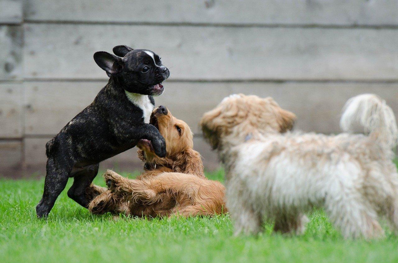 Spielende Welpen, Französische Bulldogge, Havaneser und Spaniel spielen zusammen