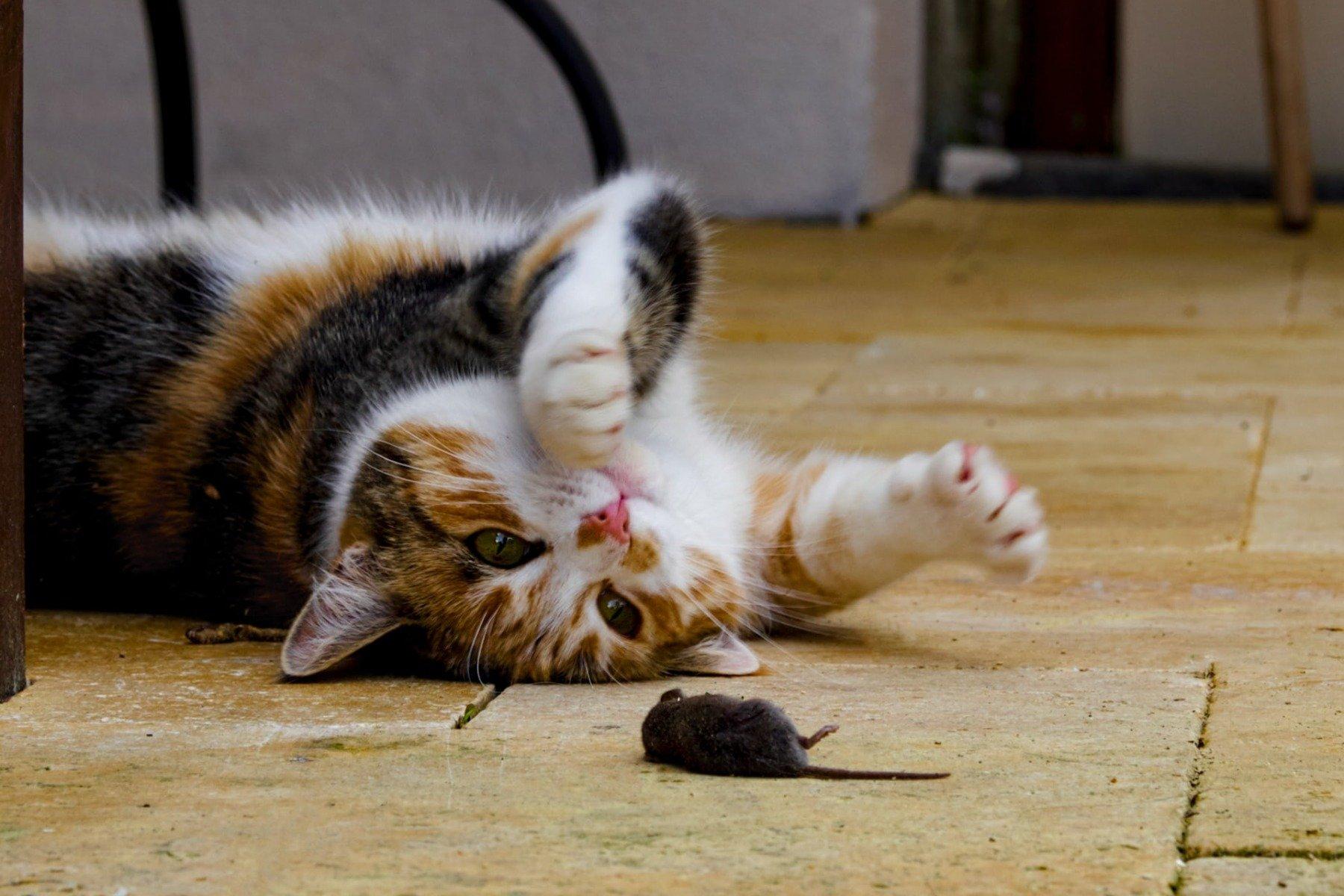 Katze liegt auf dem Rücken und spielt mit einer Maus