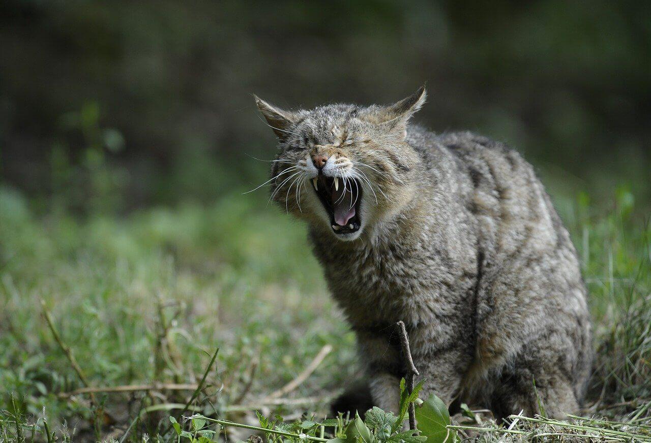 Wildkatze gähnt