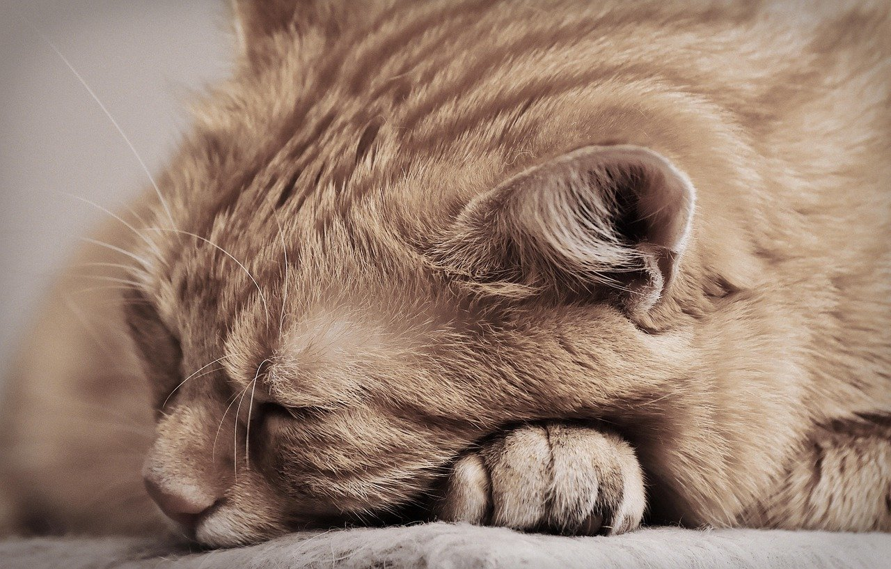 Nahaufnahme einer rötlichen Katze, deren Kopf auf ihren Pfoten liegt