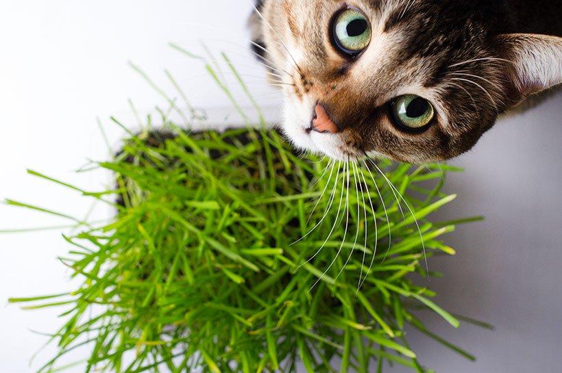 Katze steht vor Katzengras und schaut nach oben