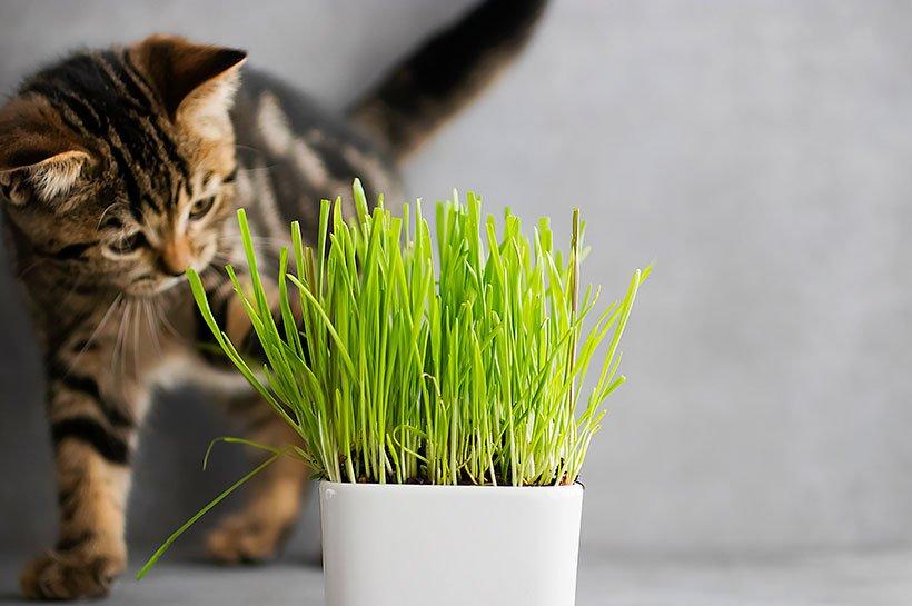 Junge Katze schnüffelt an Katzengrashalmen