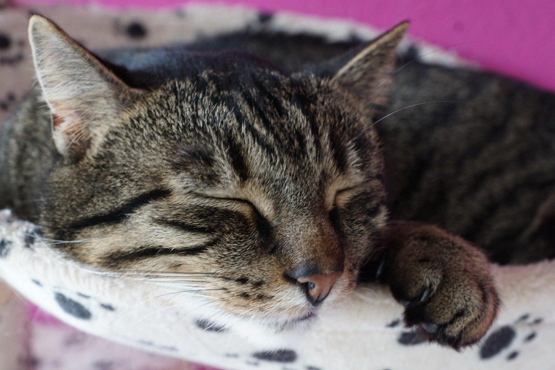 Getigerte Katze schläft
