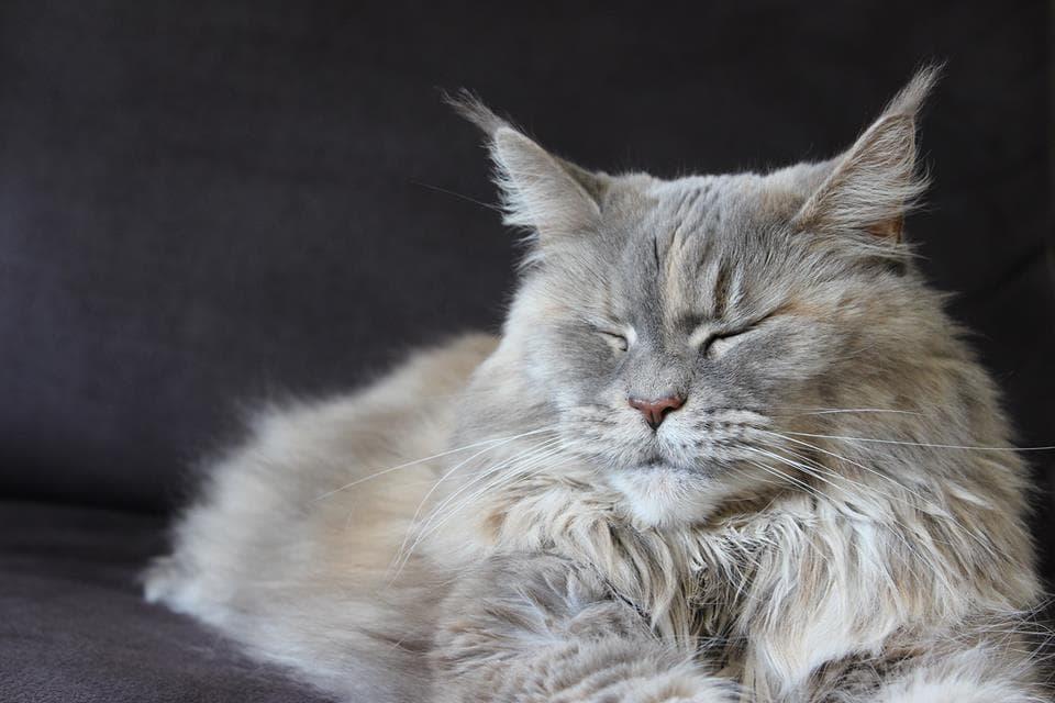 Maine Coon Katze schläft