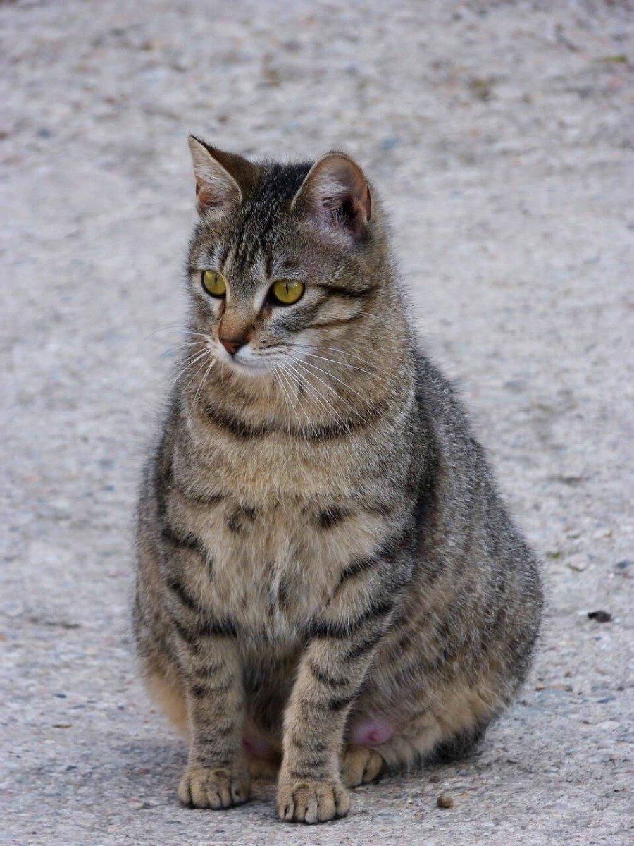 Trächtige Katze sitzt