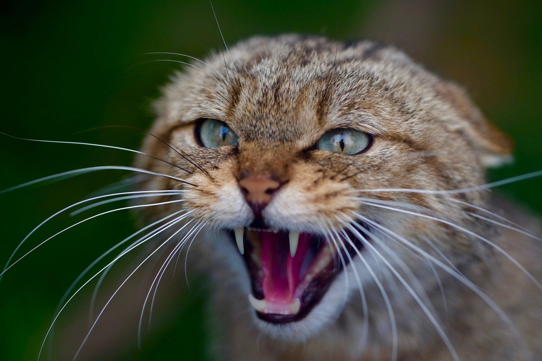Katze legt die Ohren zurück und faucht