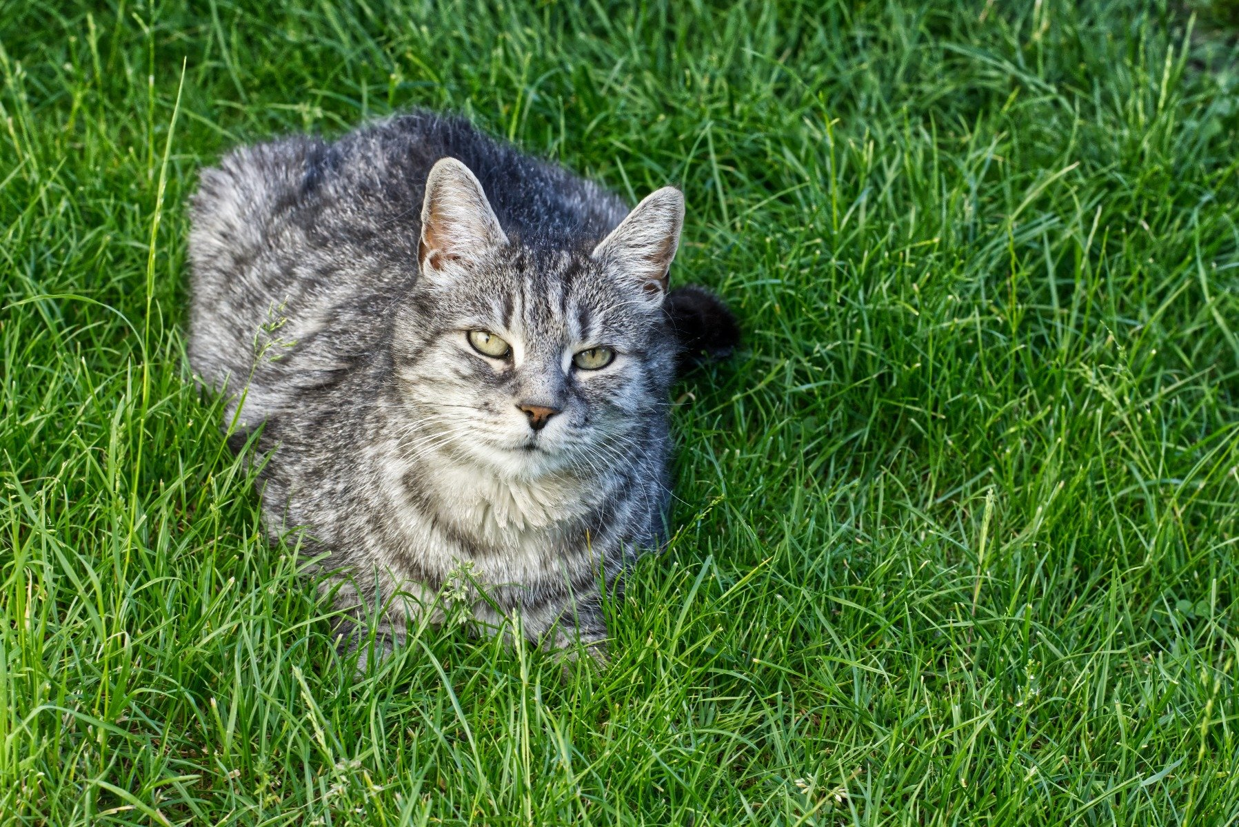Grau getigerte Katze sitzt im Gras