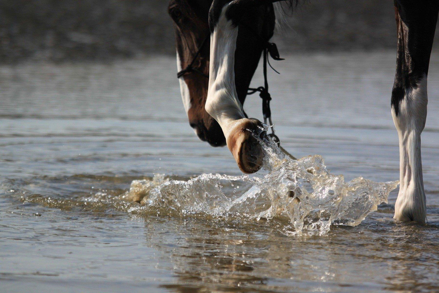 Huf eines Pferdes im Wasser