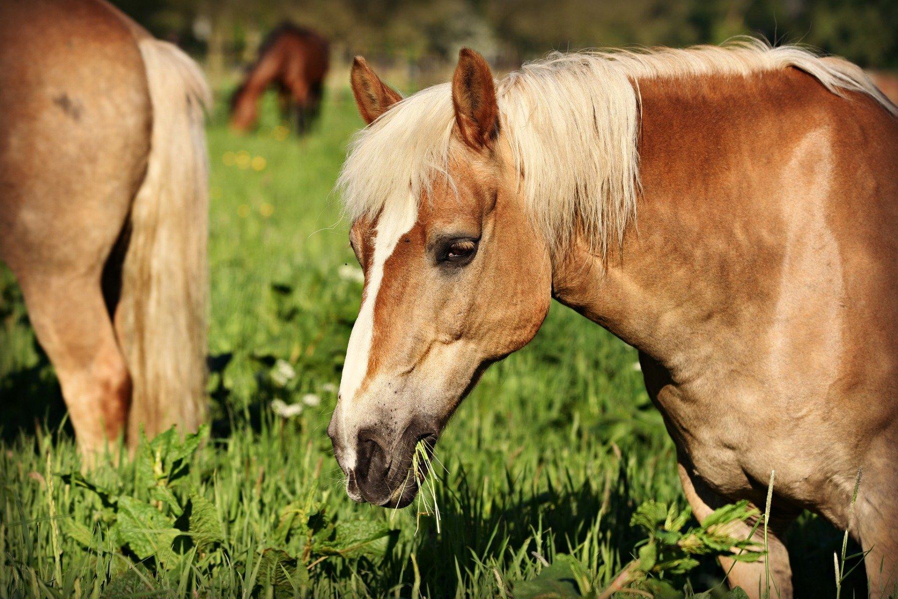 Pferd beim Fressen
