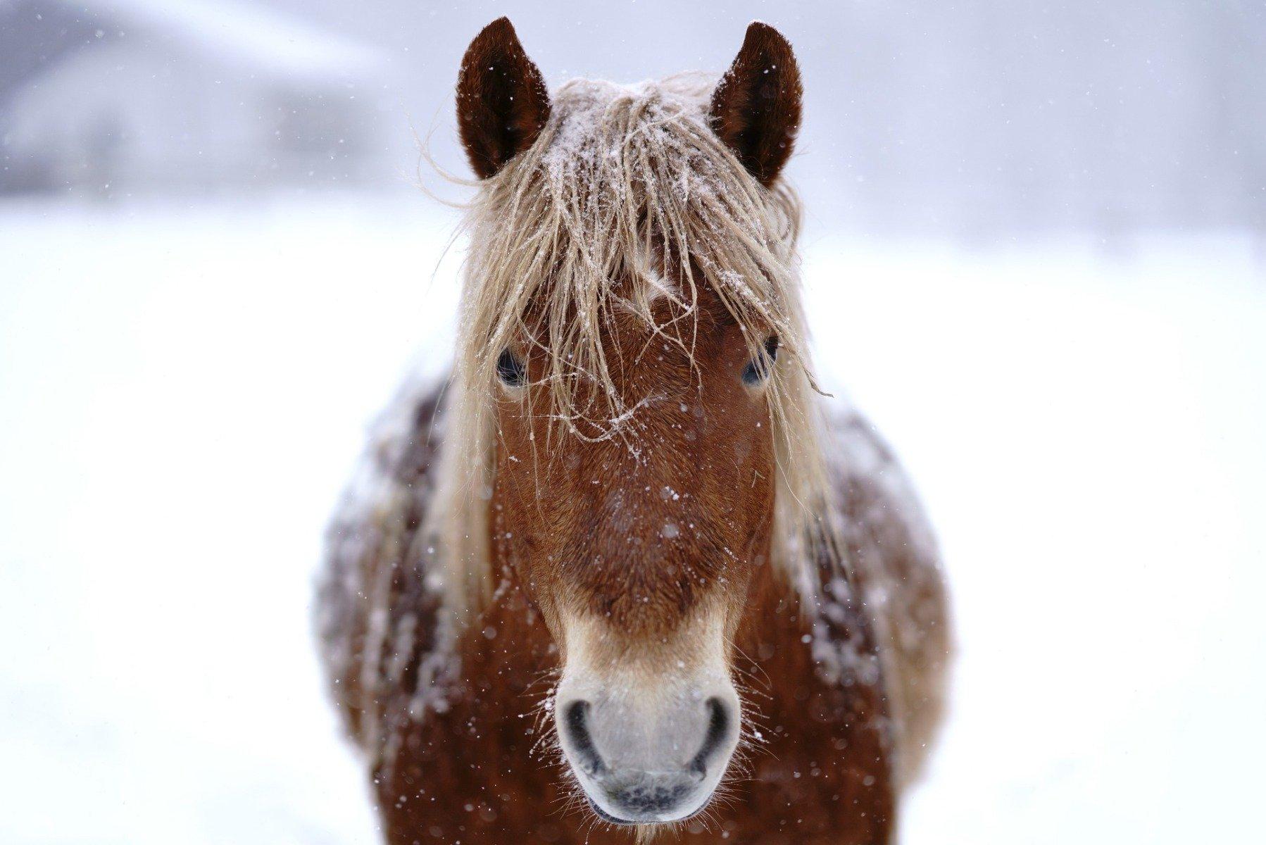 Pferd mit Eiskristallen im Fell